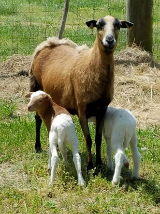 The Barbados Blackbelly is a breed of domestic sheep from the Caribbean  island of Barbados. Although it is likely the Barbados Blackbelly has  African ... 41d3a70a5